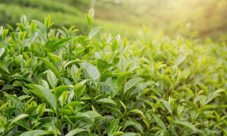 Ekstrakt z zielonej herbaty – esencja prozdrowotnych właściwości