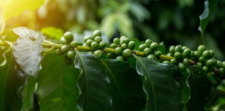 Guarana. Ekstrakt z nasion guarany (Paullinia cupana).