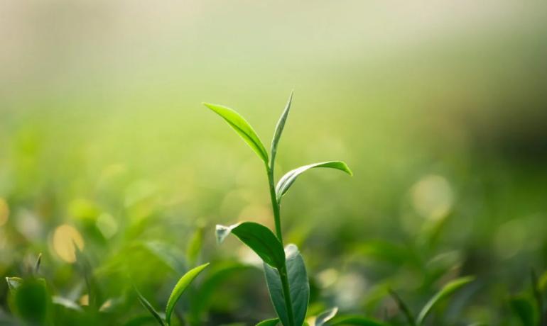 Olejek z drzewa herbacianego i jego właściwości