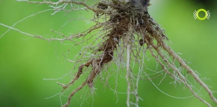 Pokrzywa indyjska - Ekstrakt z korzenia pokrzywy indyjskiej (Coleus forskohlii)
