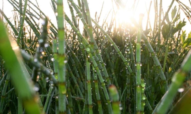 Skrzyp polny. Ekstrakt ze skrzypu polnego (Equisetum arvense)