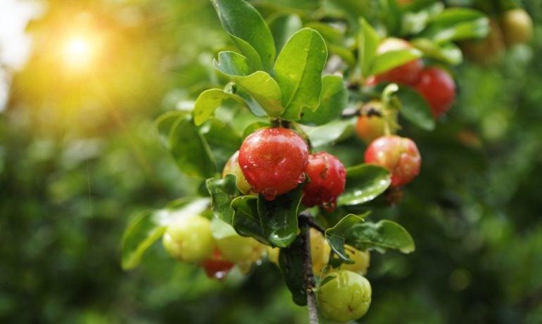 Organiczny Ekstrakt z Aceroli